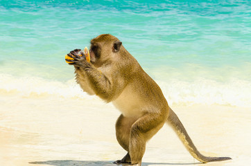 Monkey drinking juice from tourist, Phi Phi Islands, Thailand