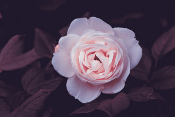 Young light pink rose