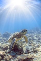 a hawaiian sea turtle