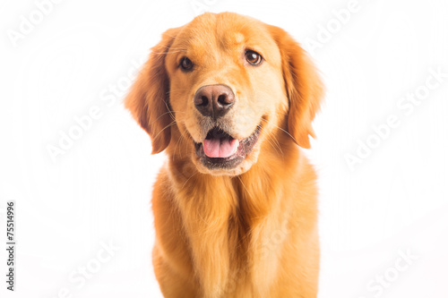 dogs similar to golden retriever quot golden retriever dog quot stock photo and royalty free images 315