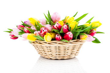 Colorful tulip blooms in a basket isolated on white