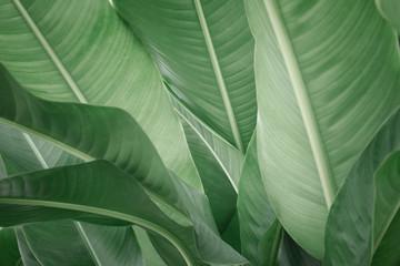 leaf of banana