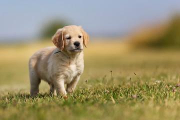 Seven week old golden retriever puppy