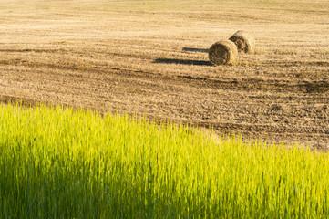 Harvest in summer hot day
