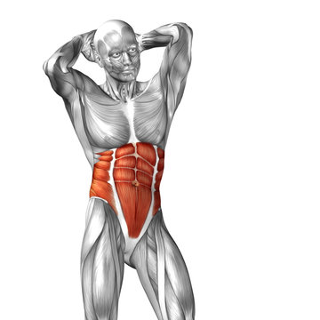 Conceptual 3D anatomy muscle isolated