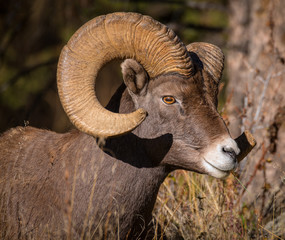 Big Horn Ram side head shot