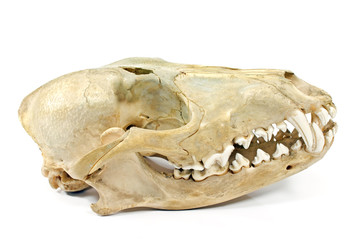 Dog skull isolated on white