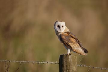 Barn owl, Tyto alba Fototapete