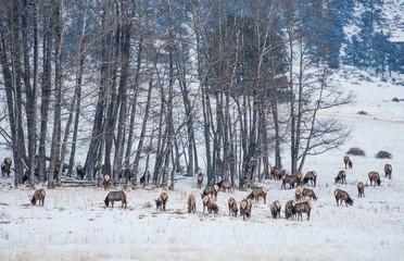 Wall Mural - Colorado Elk Herd in Winter