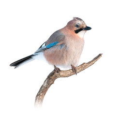 Eurasian jay on white