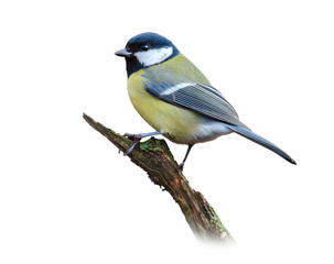 Great tit on white