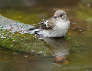 Pied flycatcher. Female