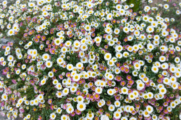 Summer background of white and pink daisy flowers