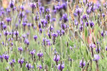 Fernleaf Lavender,Jagged Lavender