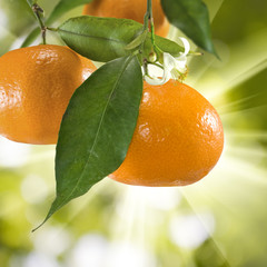 tangerine on a green background