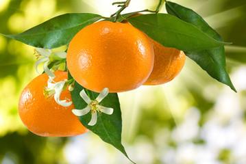 image of ripe tangerine