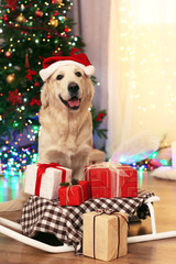 Labrador in Santa hat sitting near sledge with present boxes