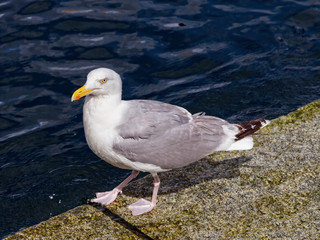 A seagull on stone wharf at summer day.