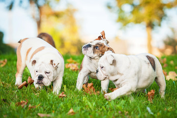 English bulldog puppies playing with leaves in the park
