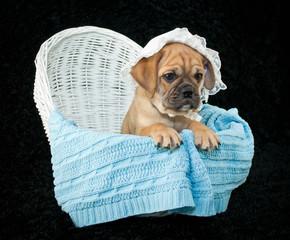 Wall Mural - Baby Beabull Puppy