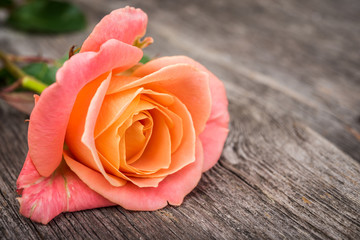 Pink rose on old  wooden background, selective focus.