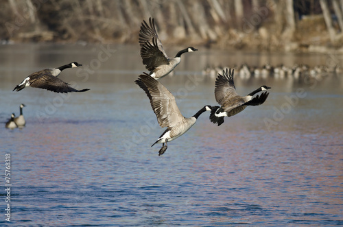 Fototapete Canada Goose Taking Off From a Winter River