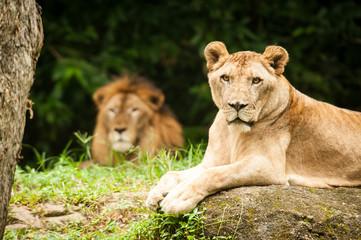 lions lady