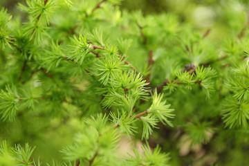 small larix tree leaves close up, springtime photo