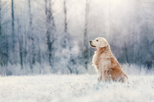 Golden Retriever sits in frost on winter day
