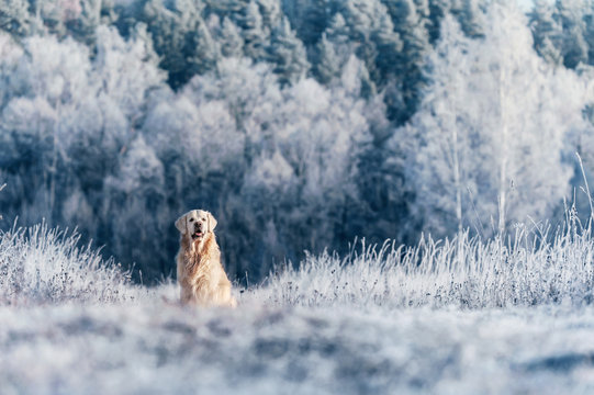 Golden Retriever sits in frost on winter sunny day