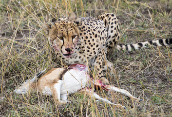 Cheetah eating gazelle