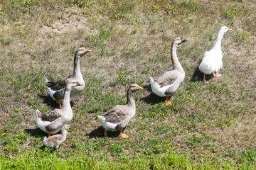 Geese on meadow