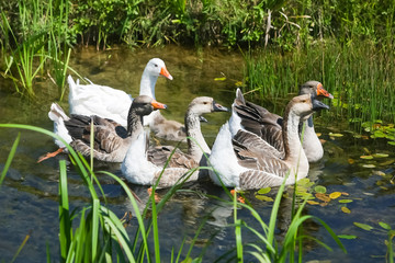 Geese swimming in pond