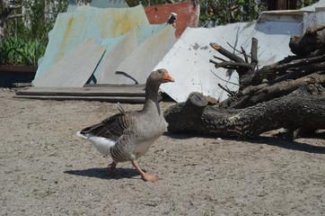 Grey domestic goose on the poultry yard