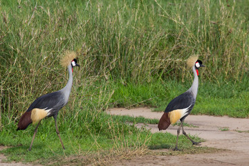 Crown crane birds