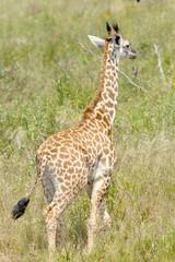 Baby giraffe in the Tanzanian savannah
