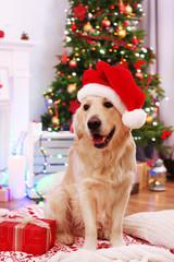 Labrador in Santa hat sitting