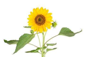 a flowering sunflower