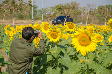 Sunflower field with man taking pictures