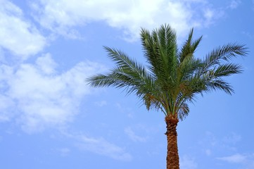 One date palm against blue sky