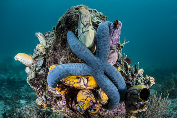Blue Starfish on Reef