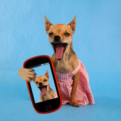 cute chihuahua in a dress with a smart phone