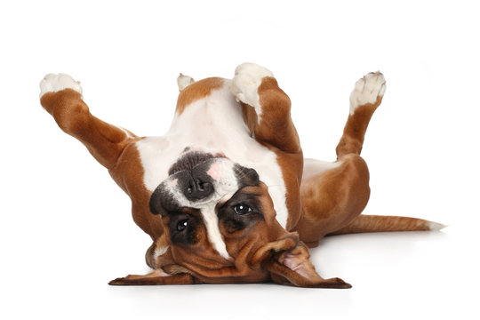 Boxer dog resting on white background