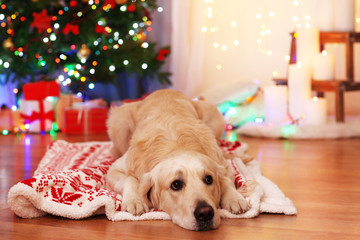 Labrador lying
