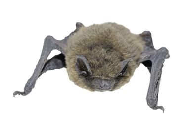 Front view of bat (Common Pipistrelle) on white background