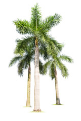 three palm trees isolated