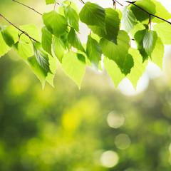Green birch leaves