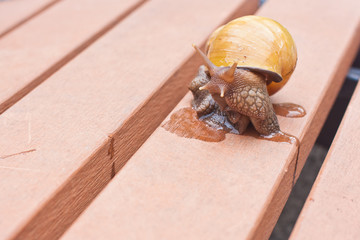 Snail with mucus on a bench in a garden closeup