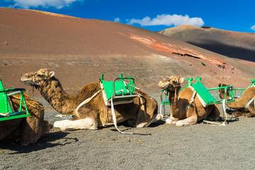 Kamele im Timanfaya Nationalpark