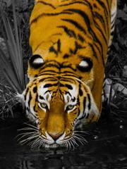 Keycolor Tiger